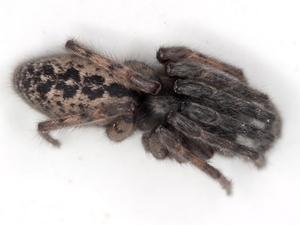 Segestria bavarica