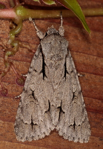 Acronicta tridens  psi - Drietand  Psi-uil