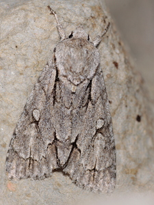 Acronicta tridens / psi - Ovifat