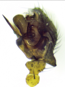 Obscuriphantes obscurus ♂ palp