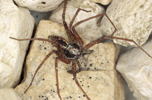 Philodromus fuscolimbatus ♂ (Langes) France
