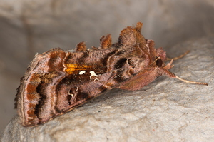 Autographa pulchrina - Donkere jota-uil