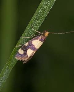 Lampronia rupella