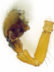 Dismodicus bifrons ♂ palp retrolateral view