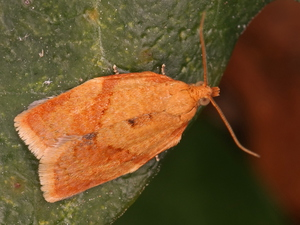 Clepsis consimilana - Tuinbladroller